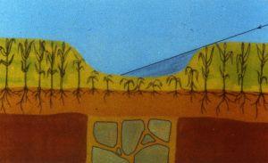 Croissance différentielle de végétaux en présence de structures maçonnées dans le sous-sol. Dessin  J.-C. Meuret